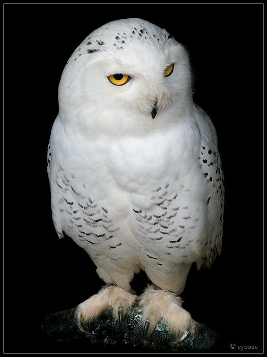 Snowy Owl by cycoze