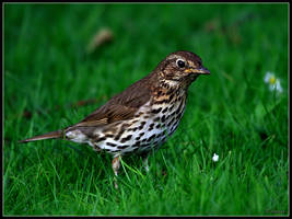 Song Thrush by cycoze
