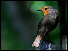 Robin 3 by cycoze