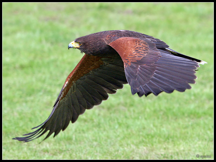 Harris Hawk In Flight 2 By Cycoze On Deviantart