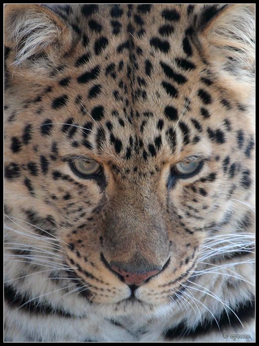 Amur leopard by cycoze