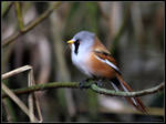 Male Bearded Tit 3