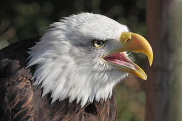 Bald Eagle Cry