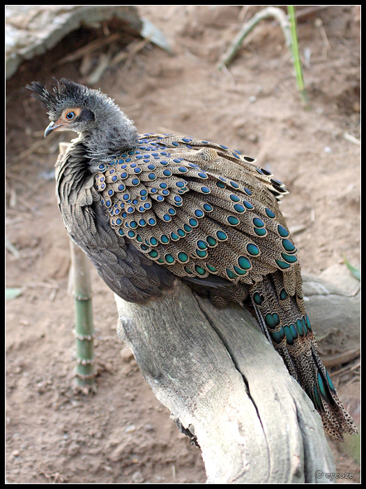 Peacock-Pheasant by cycoze