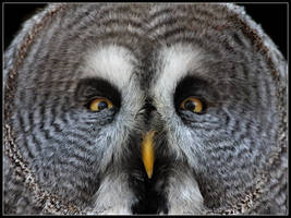Great Grey Owl by cycoze