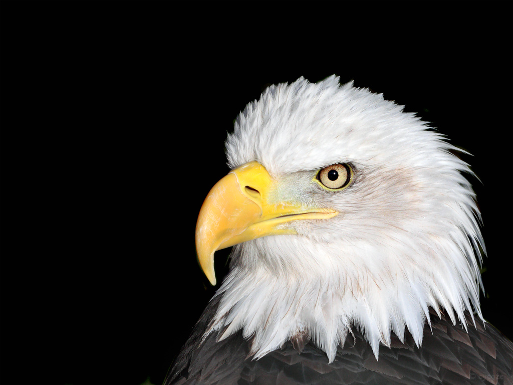 bald eagle wallpapercycoze on deviantart