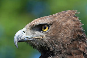 Martial Eagle by cycoze