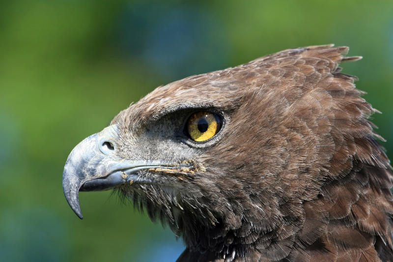 Martial Eagle by cycoze on DeviantArt