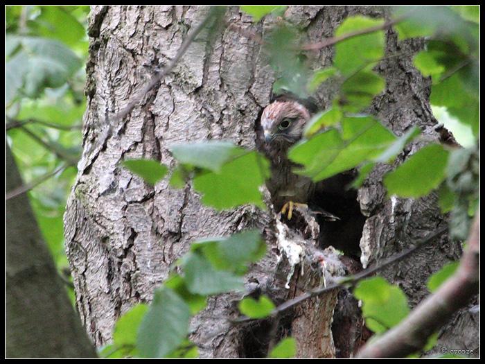 Kestrel Nest by cycoze