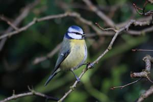 Blue Tit Twig by cycoze