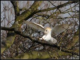 Barn Owl Landing by cycoze