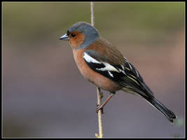 Chaffinch On Twig by cycoze