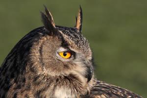 Eurasian Eagle Owl 2 by cycoze