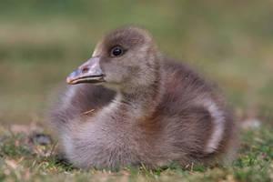 Fluffy Gosling by cycoze