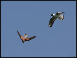 Kestrel Mobbed By Gull by cycoze