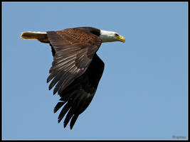 Bald Eagle Flyby by cycoze