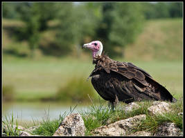 Hooded Vulture by cycoze