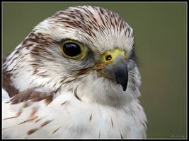 Saker Falcon by cycoze
