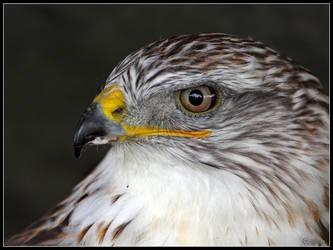 Ferruginous Hawk by cycoze