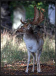 Fallow Stag 3