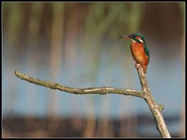 Kingfisher by cycoze
