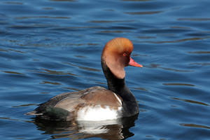 Red-crested Pochard by cycoze