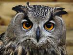 Female Eurasian Eagle Owl