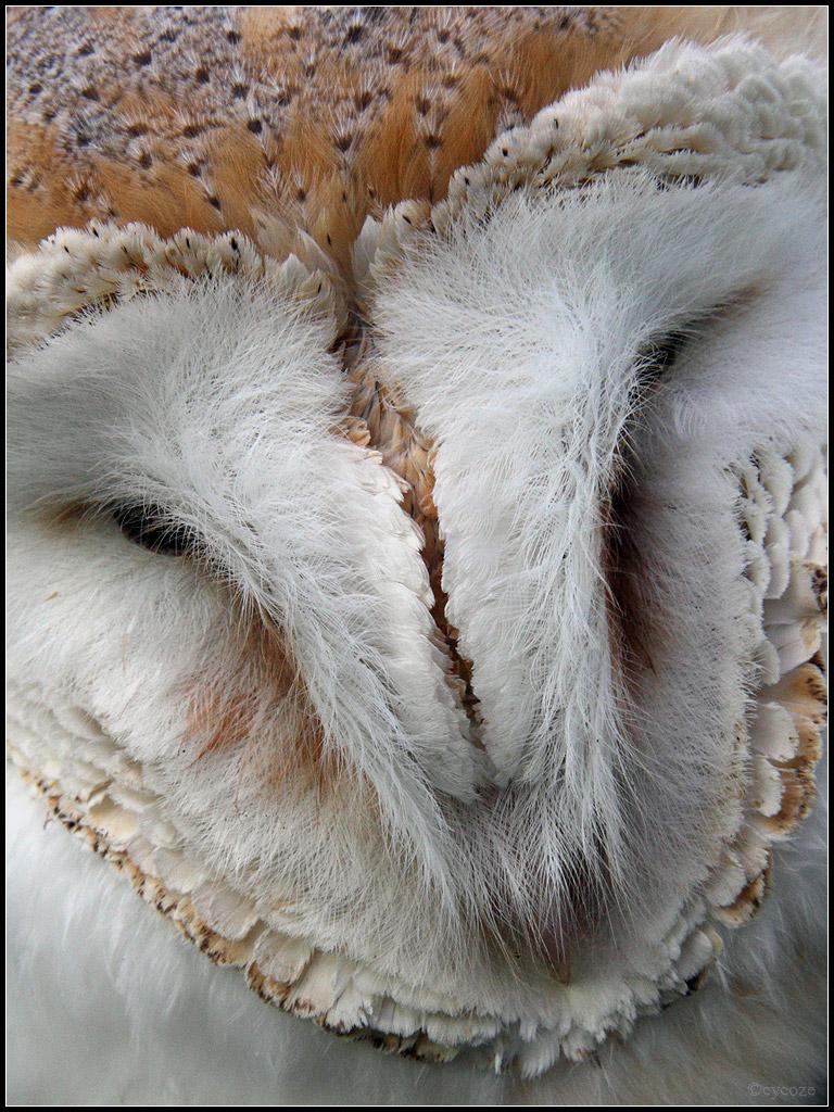 Barn owl face