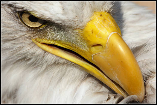 Bald Eagles Face