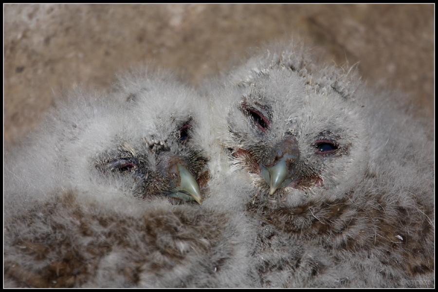 Tawny Owlets by cycoze