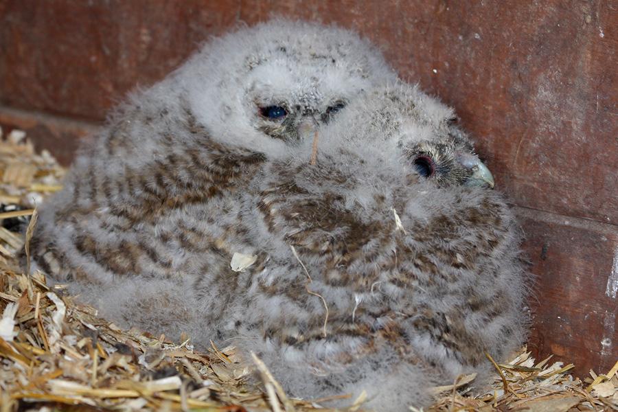 Tawny Owlets 2 by cycoze