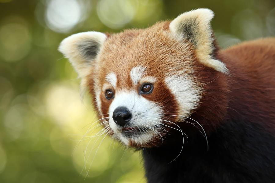 Red Panda by cycoze