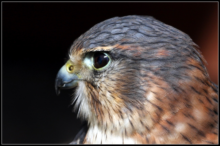 American Kestrel Portrait by cycoze
