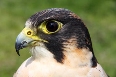 Peregrine X Lanner by cycoze