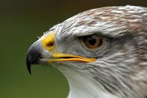 Ferruginous Hawk/Eagle