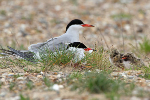 Common Terns with Chicks