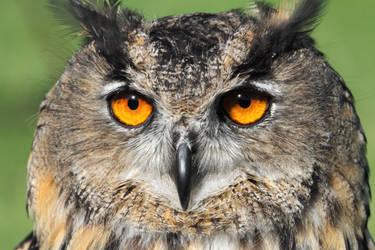Eurasian Eagle Owl by cycoze