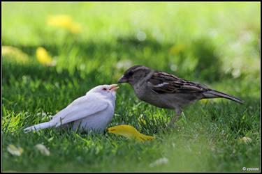 Albino Sparrow