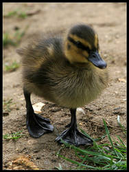 Duckling by cycoze