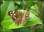 Spotted Wood Butterfly
