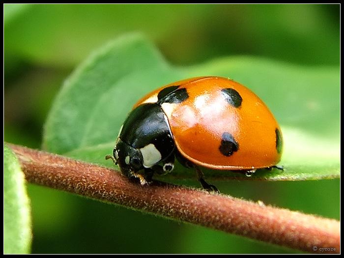 """Obrázek """"http://fc02.deviantart.com/fs17/f/2007/135/e/d/Ladybird_by_cycoze.jpg"""" nelze zobrazit, protože obsahuje chyby."""