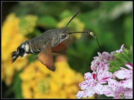 Hummingbird Hawk Moth 2 by cycoze