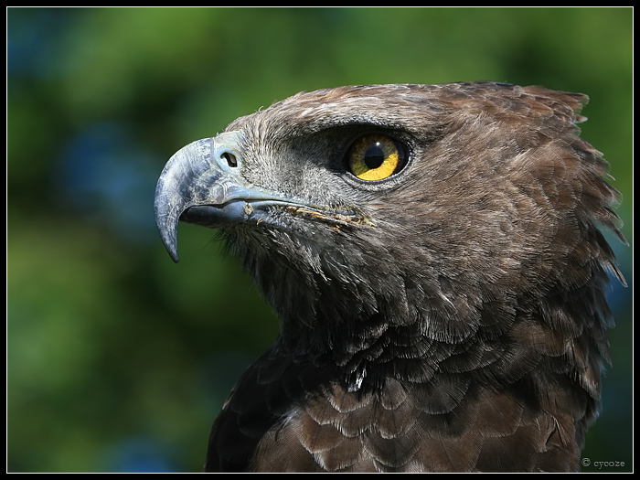 Martial Eagle Portrait by cycoze on DeviantArt
