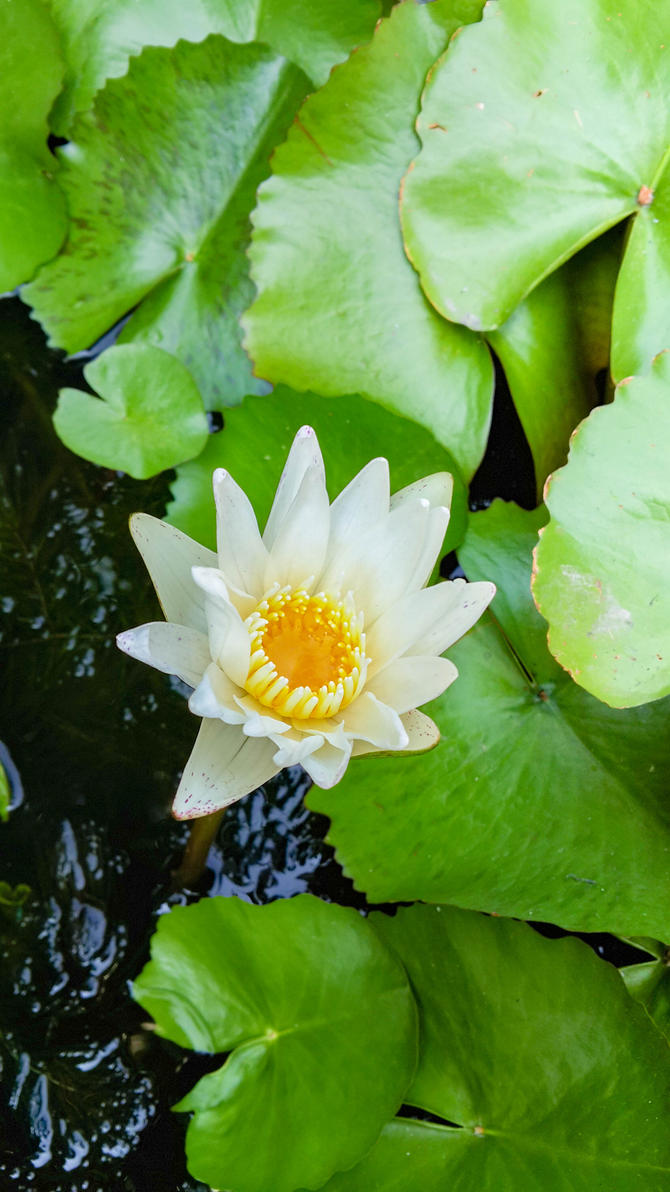 Waterlily6 by crystal-sand