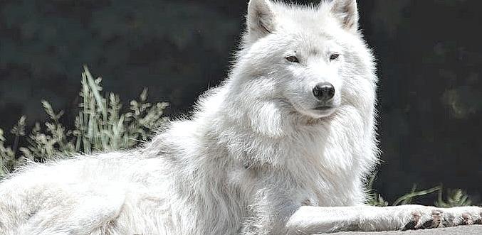 Canis lupus arctos by rinkira