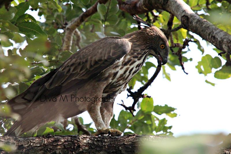 Bird of prey by magicaldiva