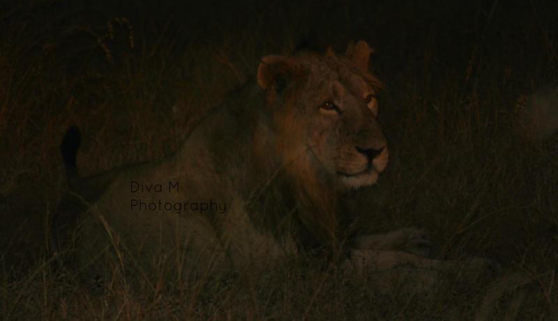 Lionheart by magicaldiva