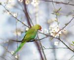 Flower parakeet