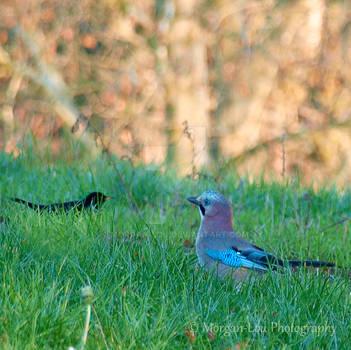When blackbird and jay meet by Morgan-Lou