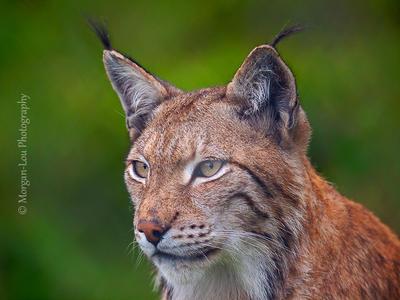 Lynx lynx by Morgan-Lou